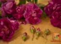 Το άγριο τριαντάφυλλο