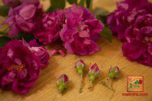 άγριο τριαντάφυλλο